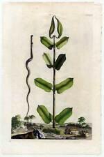 APOCYNUM VIRGINIANUM - Kupferstich 1696 Abraham Munting - Botanik-Pflanze