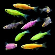 New listing 5 Assorted Glofish Danios FREE SHIPPING - LIVE FISH
