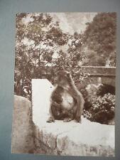 PHOTO ORIGINALE 1919  SINGE DANS LES GORGES DE LA CHIFFA ALGERIE