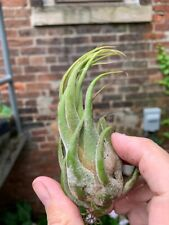 Tillandsia seleriana --SMALL SIZE-- Bizarre Air Plant -Easy Grower-SHIPS FREE!!