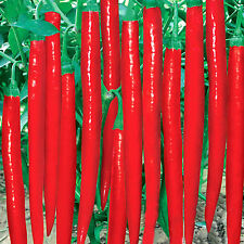 600pcs Super Giant Long Chili Seed Red Hot Pepper Organic Seeds Planting Eatable