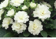 100+ Primrose /Primula / Pure White/ Flower Seeds  / Reseeding Annual