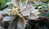 BEAUTIFUL Graptopetalum paraguayense,succulent,Crassulaceae,EASY2GROW,greenhouse