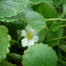 Ozark Beauty Everbearing Strawberry Plants(10) Great for canning, eating