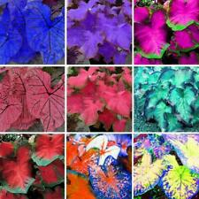 100Pcs Coleus Caladium Plant Seeds 25 Kinds Rare Bonsai Plants Decor in Garden