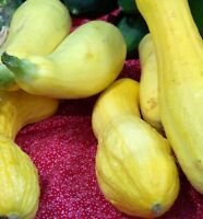 squash, CROOKNECK, golden summer, 25 seeds! GroCo