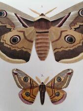 Orbigny Gravure Sur Acier XIXème Lépidoptères Attacas Blanchard pinx 1849