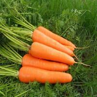 100Pcs  Samen Riesen-Möhre Herbstkönig späte Karotten-Sorte Carrot M3C4