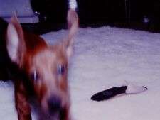 Vintage Slide 1960's Funny Blurred Motion Dachshund Puppy Playing with Slipper