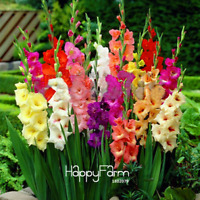 Gladiolus Bonsai Flowers Garden Perennial Plants Aerobic 100 PCS Seeds 2019 New