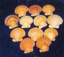 TWELVE (12) ORANGE ARGOPECTEN GIBBUS SINGLE SEA SHELLS BEACH NAUTICAL CRAFTS