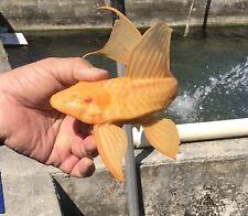 New listing plecostomus fish Albino Sailfin Gibiseps 13�