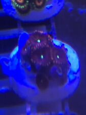New listing Pop Corals Red People Eater ZoaWysiwyg Live Coral Frag - Pop Corals Candy Shop