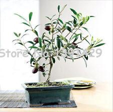 Bonsai de Oliva aceituna Acer Palmatum 20 semillas Bonsai arce japones  aceituna