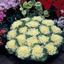Ornamental Kale Nagoya White 50 Seeds Flowering Kale Seeds