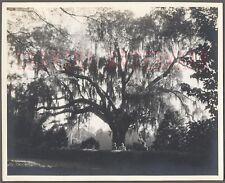 Vintage Photo Under Unusual Live Oak Tree in Spanish Moss 706386