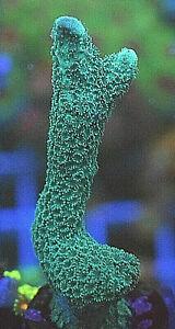 Green Montipora Digitata, Maybe German Blue, SPS Hard Coral Frag