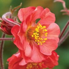 1 x Geum Hybride 'Flames of Passion' (Nelkenwurz)