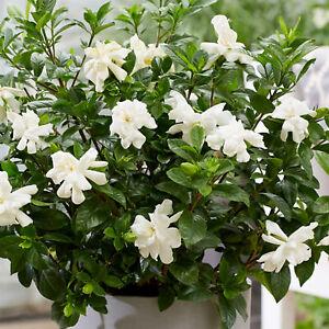 Gardenia Double Diamond   Evergreen Hardy Flowering Shrub   15-30cm (incl. Pot)