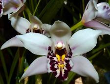 Orchid Species Cymbidium parishii Fragrant