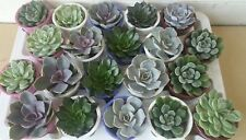Set of 5 mixed echeveria plants, ceramic pots 6 cm