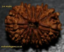 NEPALESE FOURTEEN 14 CHODAH MUKHI FACET COLLECTOR RUDRAKSHA RAREST POWER BEAD