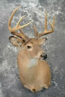SKU: 1090 Whitetail Deer Taxidermy, SCI 138 0/8