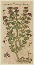 JACQUES DALECHAMPS CLINOPODIUM ACINOS BASIL THYME SPRING SAVORY MATTHIOLI 1630