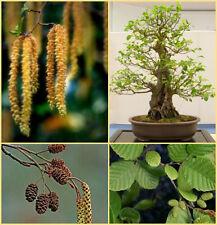 Alnus glutinosa, black alder seed suitable for Bonsai tree growing
