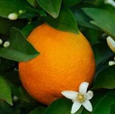 DWARF BLOOD MORO ORANGE  Tree Citrus 1 tree Grow Your Own Oranges