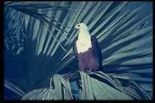 268017 African Fish Eagle A4 Photo Print