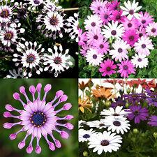 70x African Blue Eyed Daisy Seeds Osteospermum Ecklonis Cape Mix Flower Heirloom