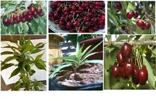 Bing Cherry Tree   5  Seeds