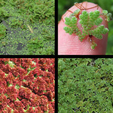 1 cup - 4oz Azolla, Water Fern, Fairy Moss Pond Plants Great For Filtration!