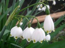 Leucojum aestivum 'Gravetye Giant' - Snowflake Bulb - Bulk package of 1000 bulbs