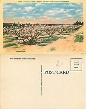 USA - Sunrise in early spring showing peach trees in blossom (S-L XX307)
