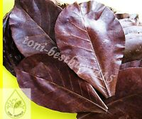 20 pcs Best Catappa Ketapang Indian Almond Leaves Shrimp Betta Discus Cichlid