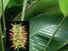 Calathea Pachystachya - Rare Tropical Plant Seeds (4)