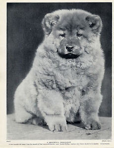 CHOW CHOW CUTE PUPPY LOVELY ORIGINAL DOG PRINT PAGE FROM 1934