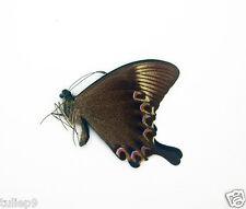 Papilio paris ssp detanii (m) - Mt. Ijen, East Java, Indonesia