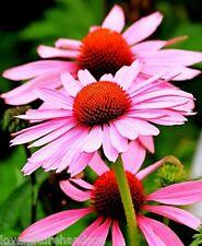 ECHINACEA CONEFLOWER Purple Pink Perennial Butterflies Cone Flower 100 Seeds