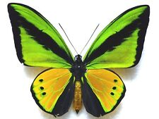 Butterfly ORNITHOPTERA GOLIATH  SUPREMUS ? (Bulolo; mounted male) - Form