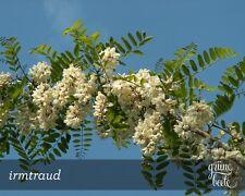 Patente-Acacia * 50 semi/Seeds * Robinia pseudoacacia * PROFUMO * robinie * Inverno