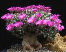 Trichodiadema densum       15 seeds