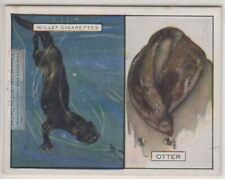 Sea Otter Its Fur Pelt Trapping Hunting Marine Ocean c90 Y/O Ad Trade Card
