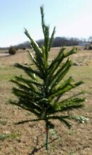 Vintage Green Christmas Canadian Fir Tree 6' Artificial Woods Sprite Mid Century