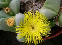 Very Rare Succulent Cactus Plant 10 SEEDS Gibbaeum Petrense SB648 Brandrivier