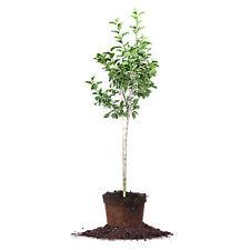 Fuji Apple Tree, Live Plant, Size: 5-6 ft.