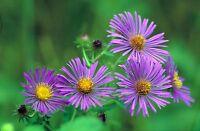 BULK Wildflower Seeds PURPLE Tahoka Daisy Heirloom Heat Sun Tolerant Native