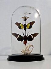 Taxidermy Glass Dome - Muskrat Skull, Bird Skull, Carpent Bee and Moths